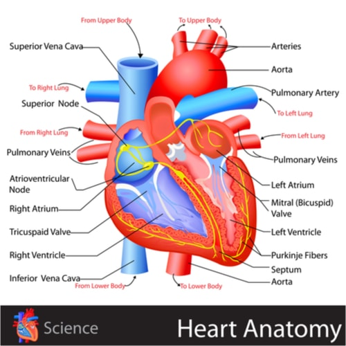 Image of heart anatomy and flow of blood through the heart for MBLEx test prep