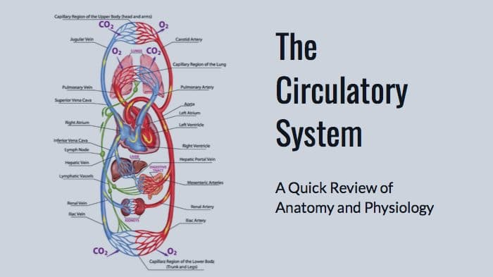 Circulatory System anatomy and physiology for the MBLEx massage exam