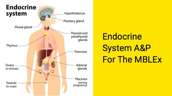 Anatomy and physiology of the endocrine system for the MBLEx massage exam