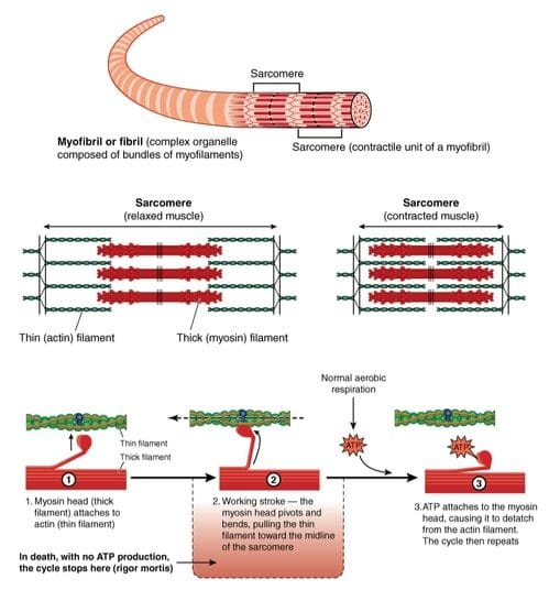 Sarcomere actin and myosin filaments