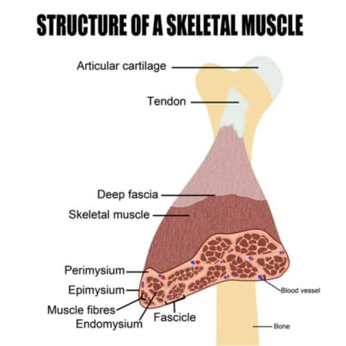 Structure and components of muscle