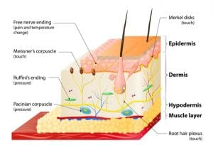 Sensory organs of the skin