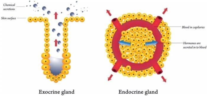 exocrine glands and endocrine glands