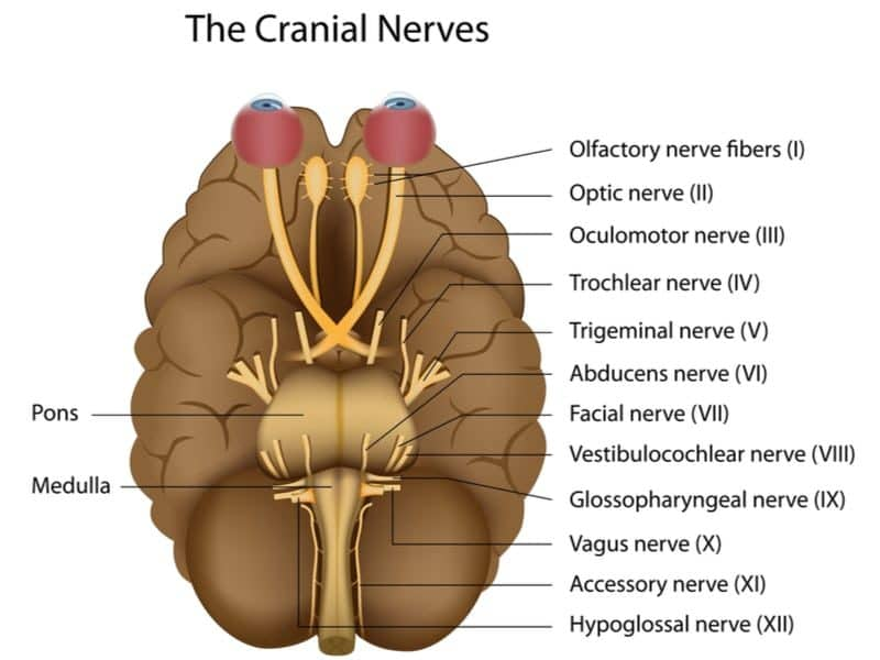 Cranial nerves of the peripheral nervous system for MBLEx review