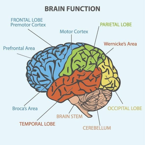 Nervous system MBLEx test prep review brain lobes, function, anatomy and physiology