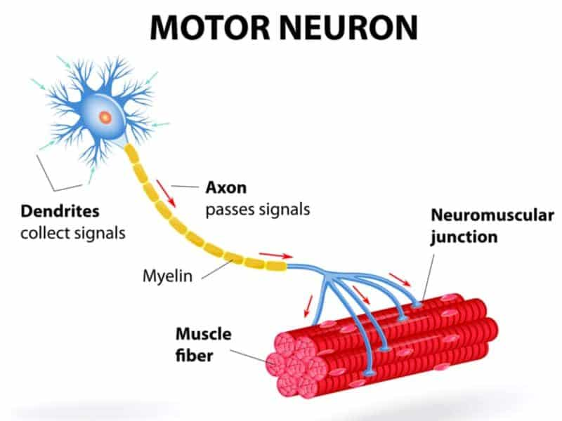 Motor neuron or nerve cell innervating muscle for MBLEx exam prep