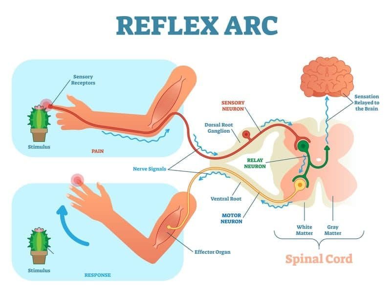 Spinal reflex arc concept for MBLEx anatomy nervous system