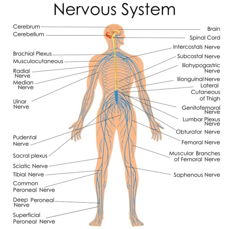 Nervous system review for the massage exam prep MBLEx