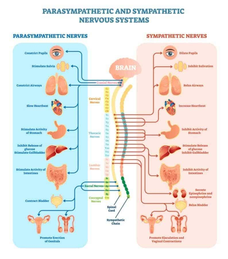 Sympathetic and parasympathetic division of the autonomic nervous system