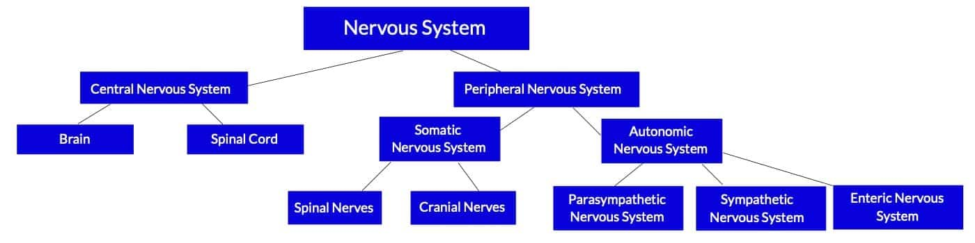 Divisions of the nervous system review for the MBLEx massage exam