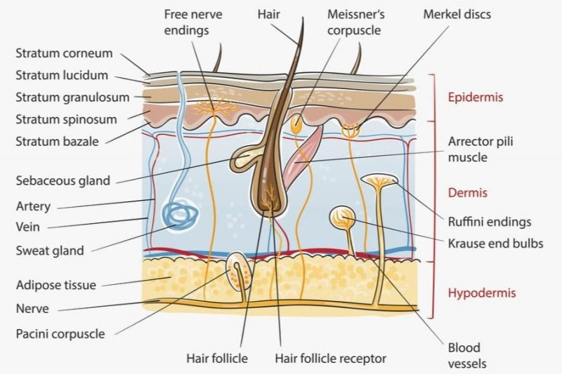 Integumentary system layers MBLEx