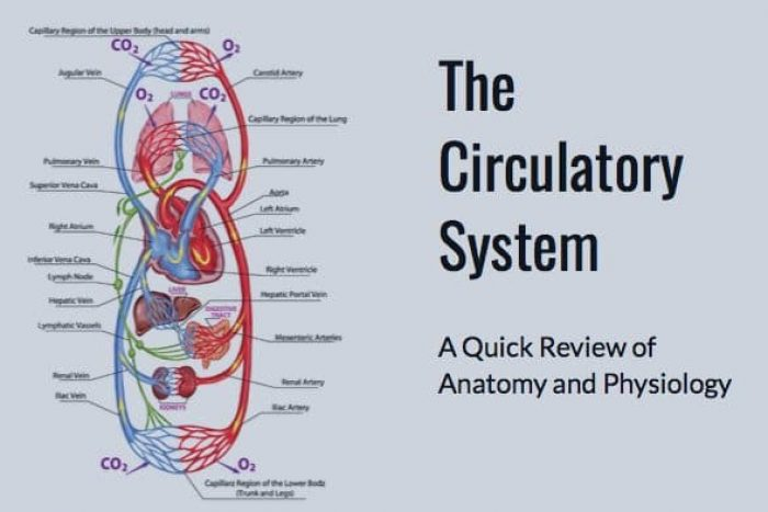 Mblex Prep Circulatory System Anatomy And Physiology Mblexguide