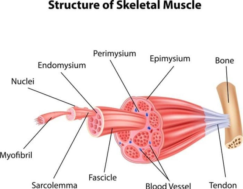 Structure of skeletal muscle cell